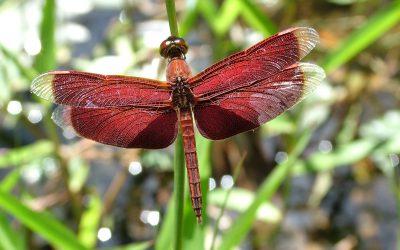 Libellen en de bescherming van zoetwaterhabitats in Maleisië, Indonesië en Papoea-Nieuw-Guinea