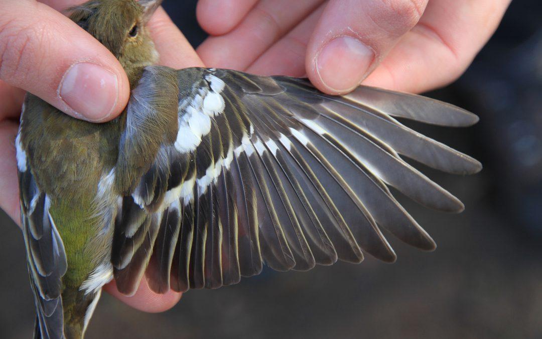 Lange-termijn dynamiek van lichaamsgrootte bij vogels