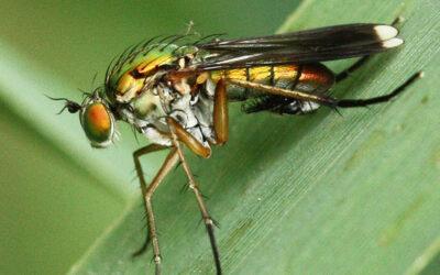 Nederlandse slankpootvliegendata voor de internationale gemeenschap en citizen scientists