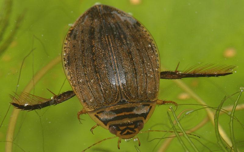 Bestand Nederlandse waterkevers ontsloten