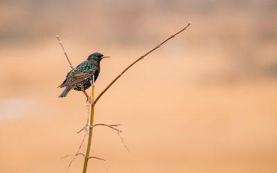 Vogelgeluiden op weg: Xeno-canto aansluiten op e-infrastructuur Naturalis en GBIF