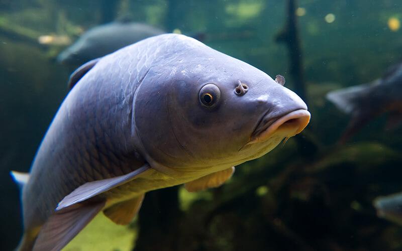 Atlas zoetwatervissen van Nederland